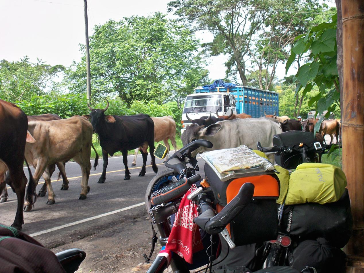Im Tiefland wurde auch wieder viel Rinderzucht betrieben.