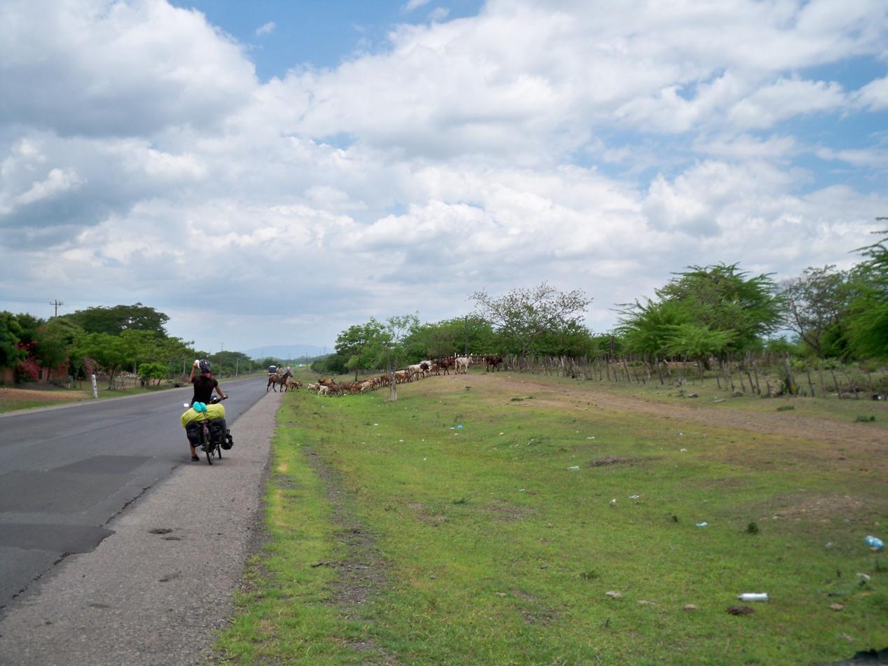 Oftmals müssen wir uns die Straße mit Rinderherden teilen.