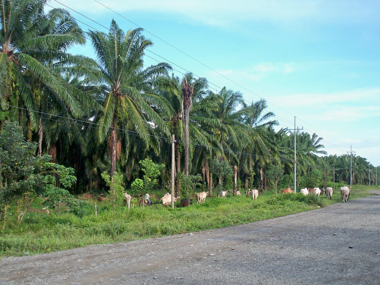 Palmenplantage bei Quepos