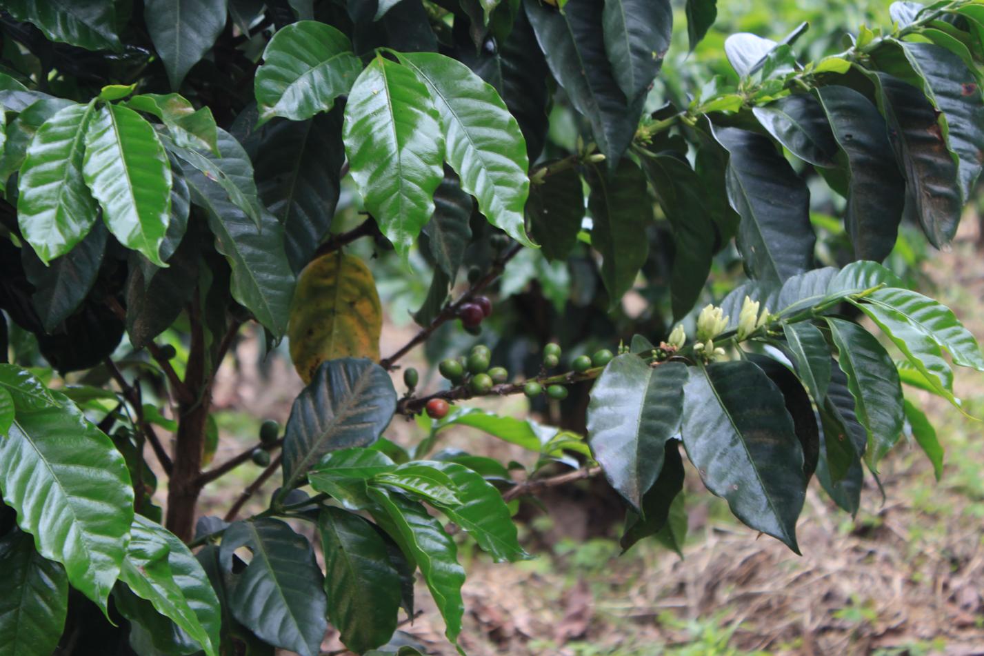 Kaffeepflanze in freier Natur