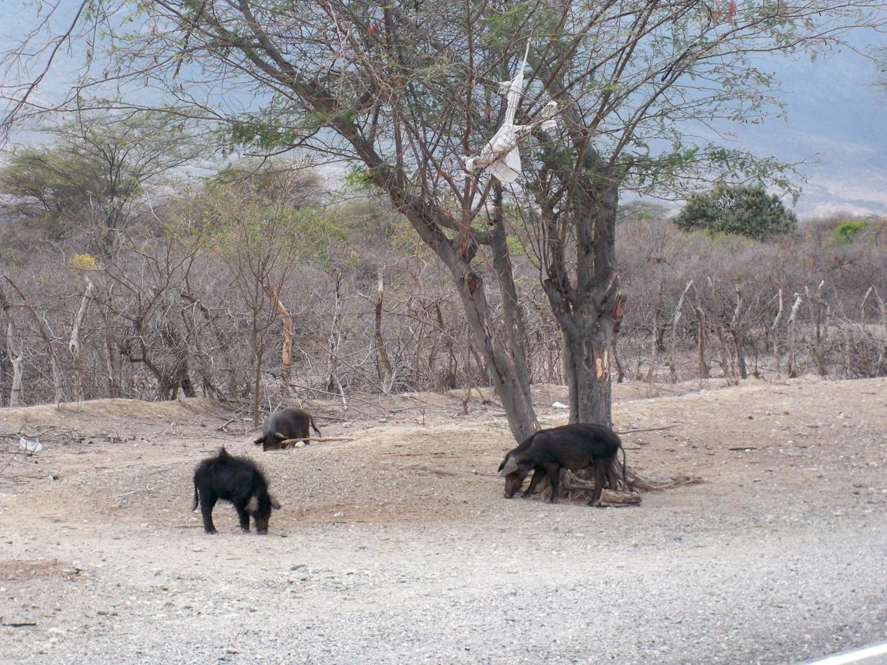 Wildschwein - Bande