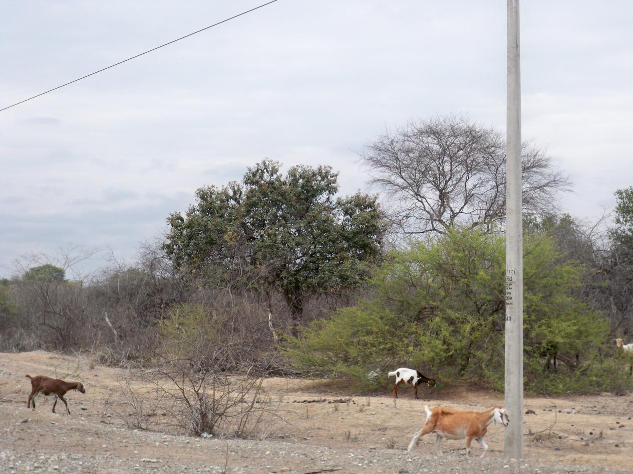 Die Ziegen haben an dem letzten Grün der Dornenbüsche geknabbert.