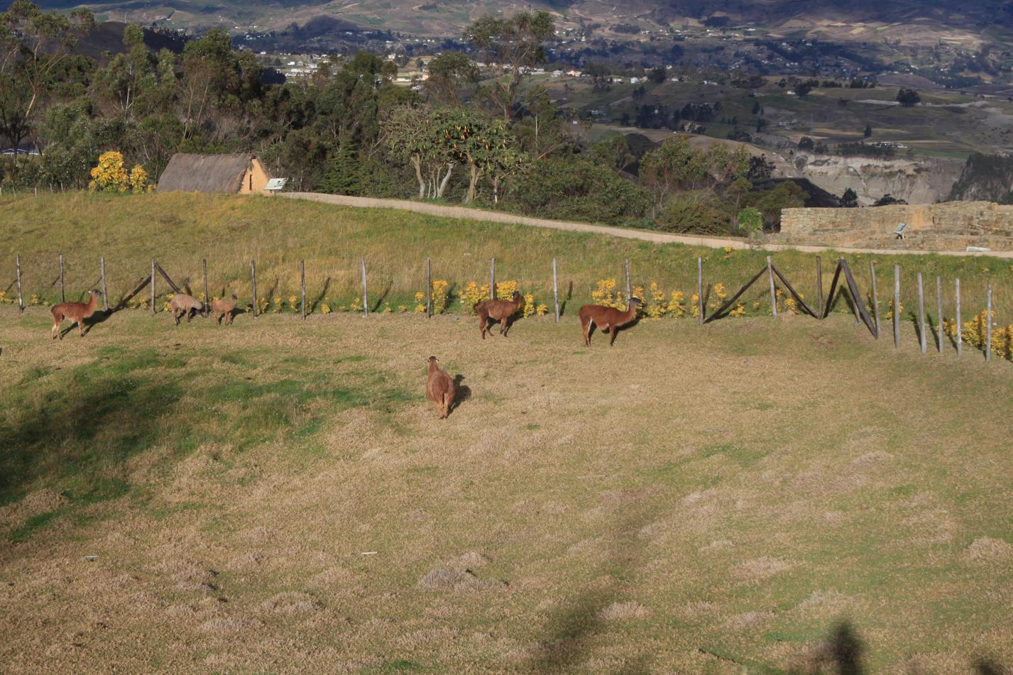 Wo es Inkas gab, gibt es natürlich auch Lamas.