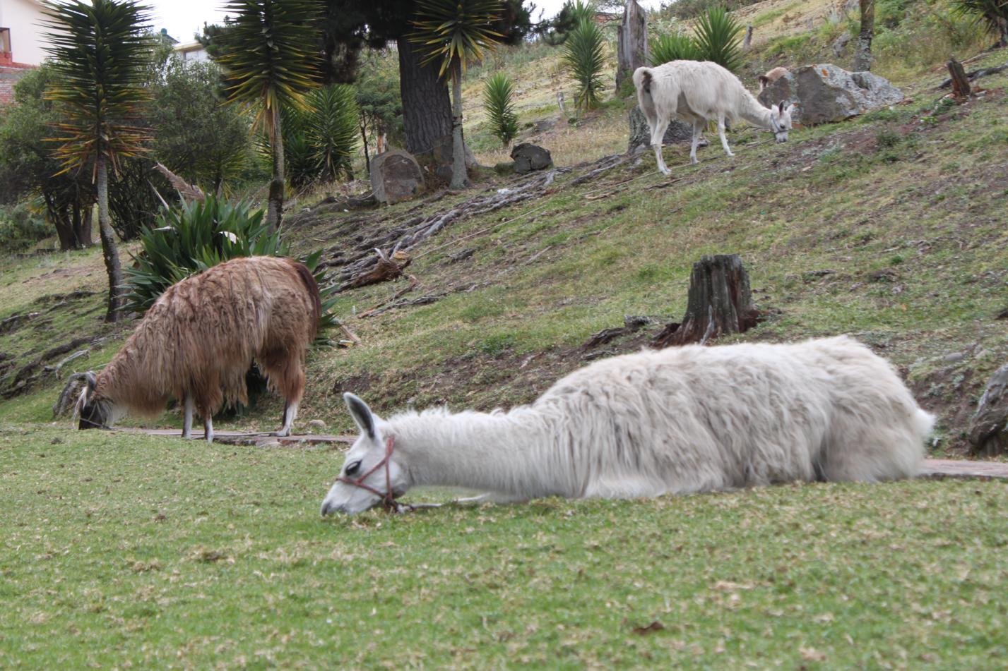 Lamas gab es im Pumapungo - Park auch zu bestaunen.