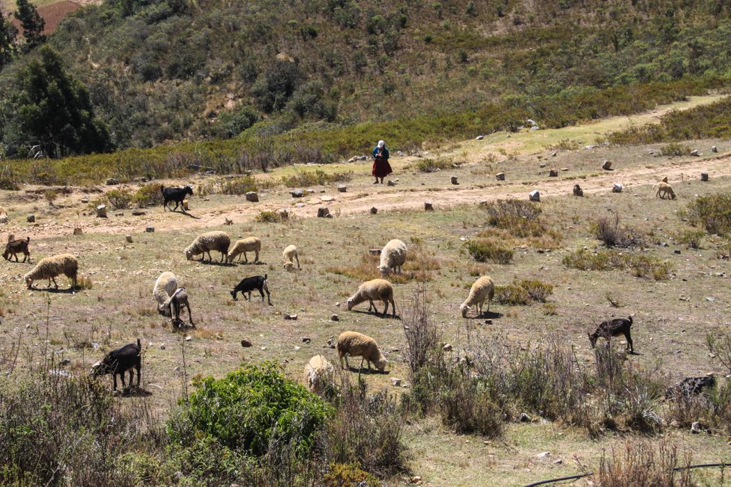 Eine Frau hütet ihre Tiere auf dem Gelände der Inkastätte.